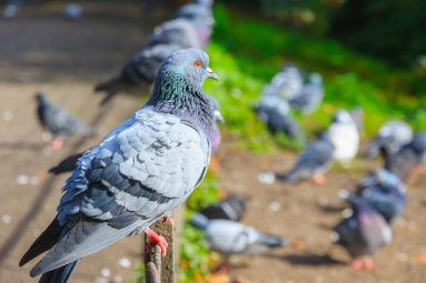 City pigeons perching on rusty fence in Regent's Park of London
